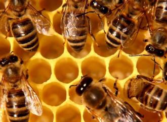 La esperanza de los apicultores está en san Ambrosio