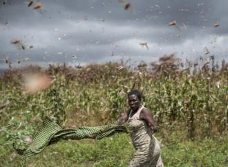 Mientras las langostas arrasan África, China las espera con gansos